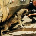 A dog victim of the Kosovo bombings being fed by WSPA (World Society for the Protection of Animals) 1999